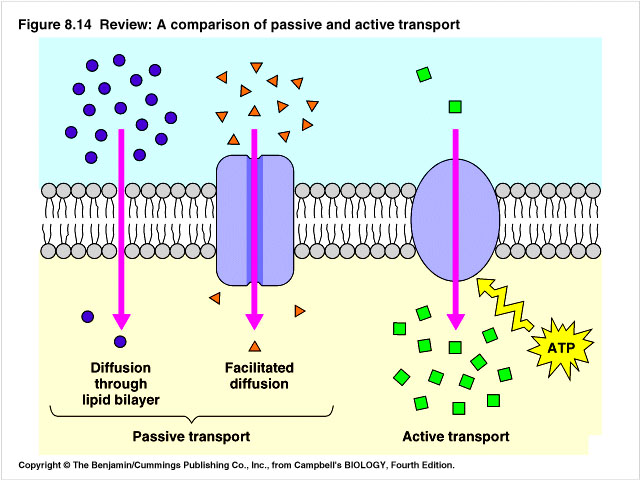Diffusion And Osmosis Active Transport Pictures to Pin on ...